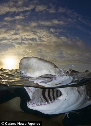 fearless photographer gets insanely close to great white sharks at feeding time without any safety measures