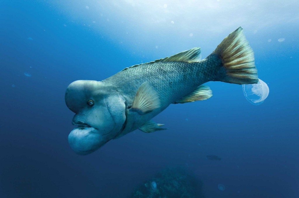 creepy and weird animals. Asian Sheepshead Wrasse