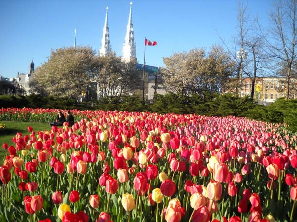 26.) Every year the Netherlands sends 20,000 tulip bulbs to Canada to thank them for their aid in the Second World War.