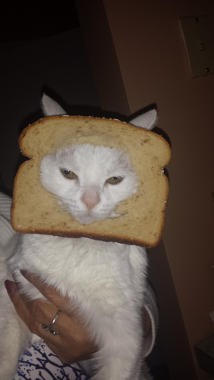 hilarious pictures of breading cats