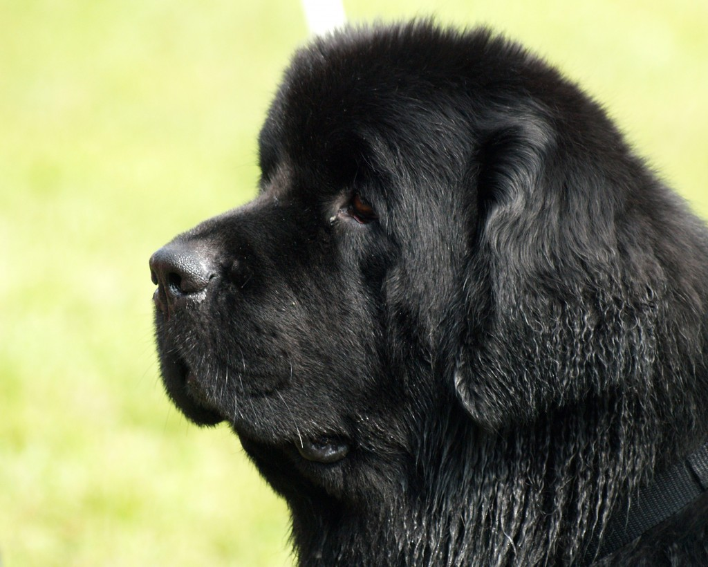the laziest dog breeds! couch potatoes Newfoundland