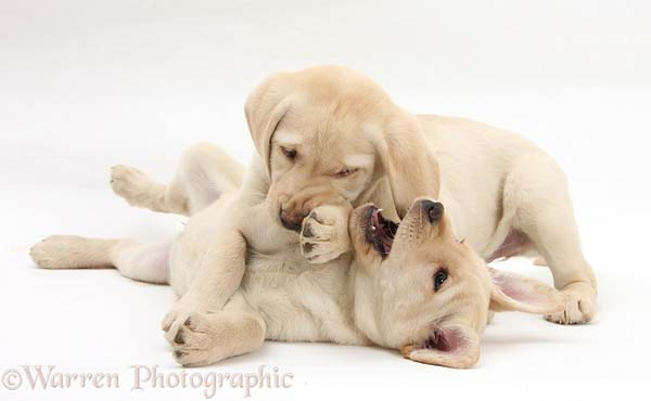 28.) Boy puppies let girl puppies win in play fights.