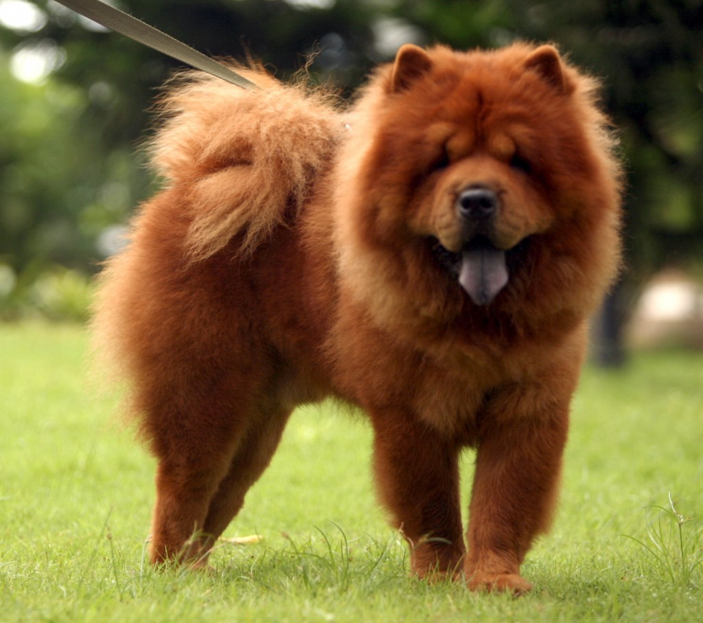 the laziest dog breeds! couch potatoes  Chow Chow