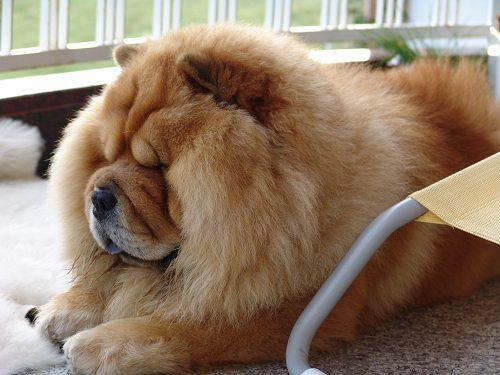 The dumbest dogs ever! Chow Chow