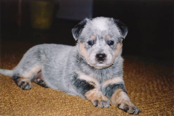 The smartest dog breeds Australian Cattle Dog