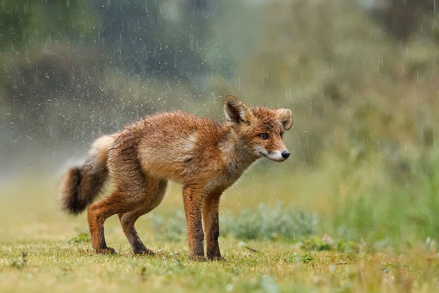 foxes-stunning-photos
