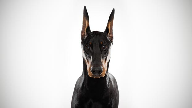 The smartest dog breeds Doberman Pinscher