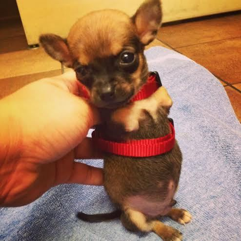 disabled-Chihuahua-got-wheels-as-his-front-legs