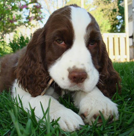the kindest dog breeds   Springer Spaniel