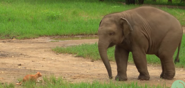 A baby elephant at Elephant Nature Park gave a cat a leg kick to show her who's the boss when they first met
