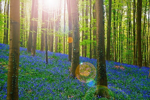breathtaking-photos-of-bluebells