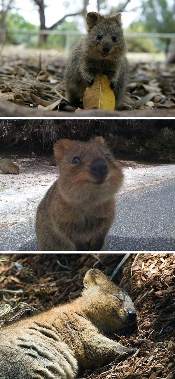29.) This is a quokka. It might be the happiest animal alive.