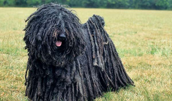 The Puli dog is a little wild, but still lovable.