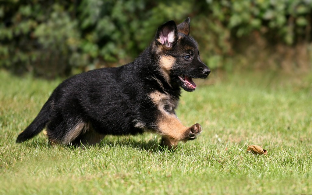 The smartest dog breeds German Shepherd