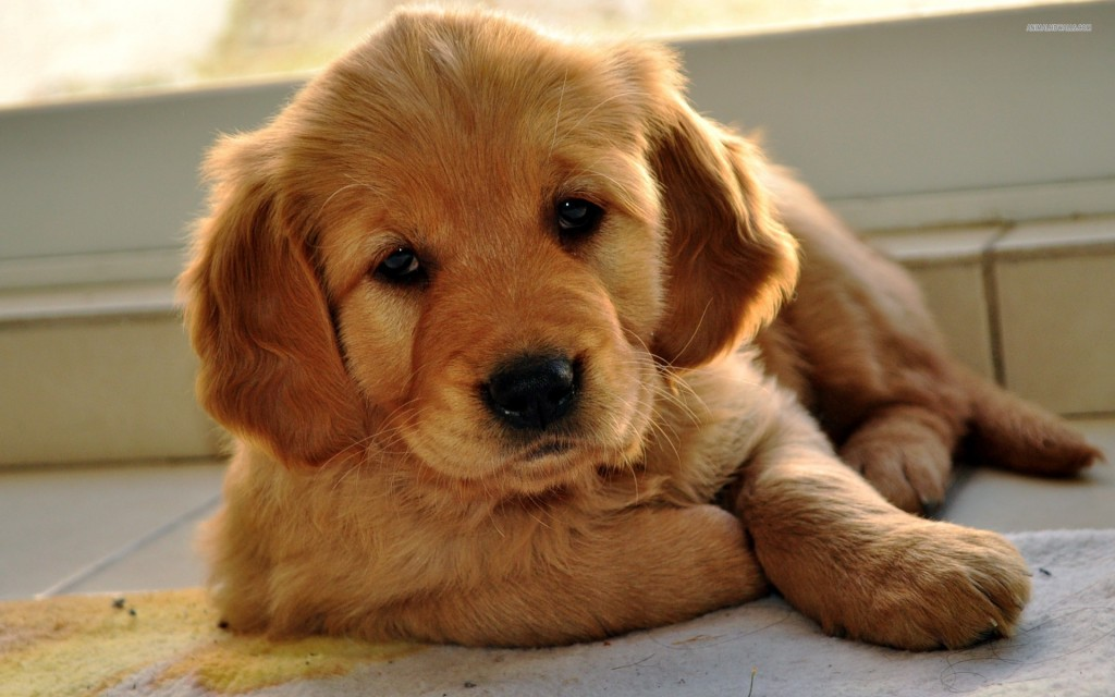 the kindest dog breeds Golden Retriever