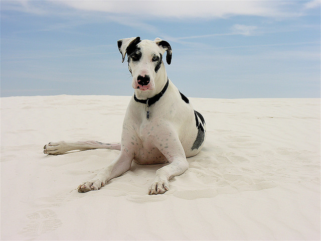 the biggest dogs in the world The Great Dane