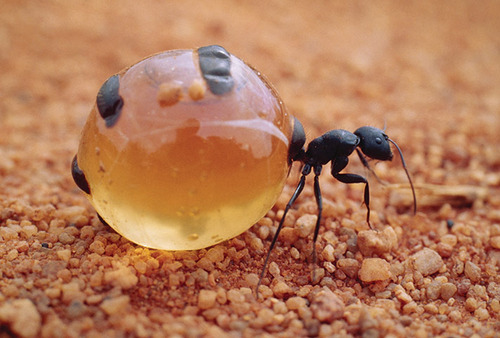 creepy and weird animals. Honeypot Ant