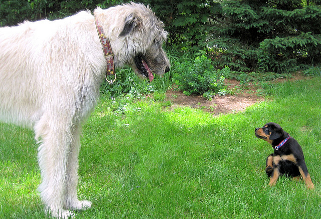 the biggest dogs in the world The Irish Wolfhound