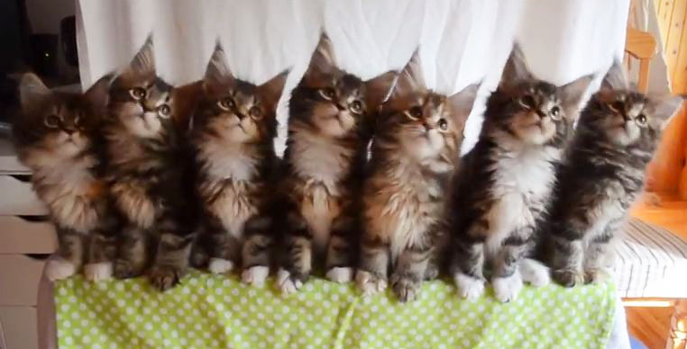 you would never see more adorable cats than this! Seven Synchronized Maine Coon Kittens! (Video)