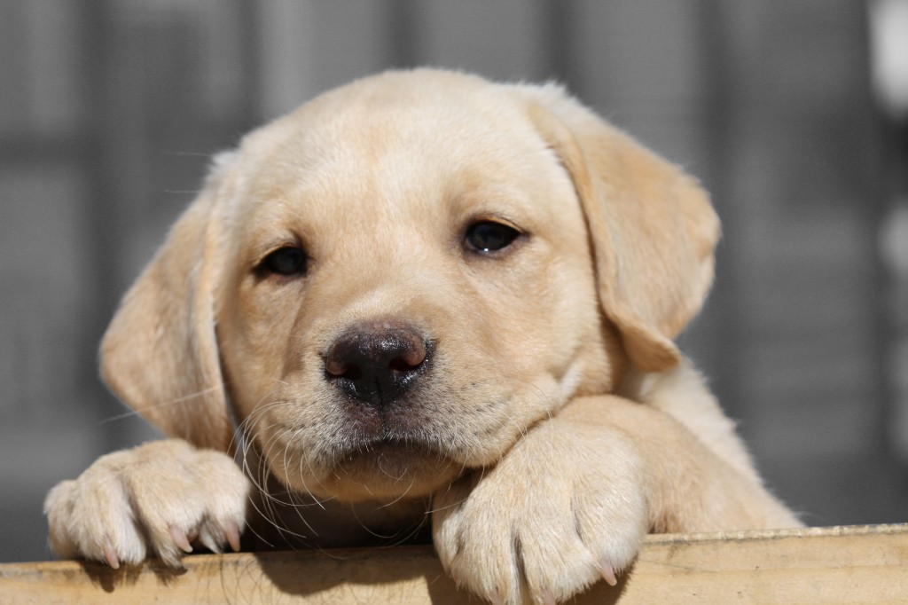 the kindest dog breeds Labrador Retriever