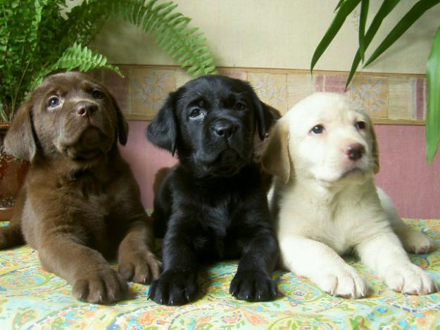 The smartest dog breeds Labrador Retriever
