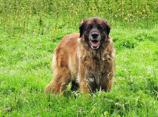 the biggest dogs in the world The Leonberger