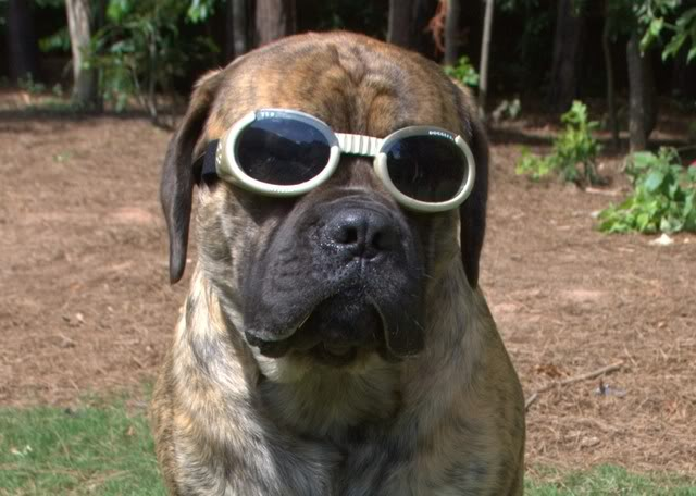 the laziest dog breeds! couch potatoes  Mastiff