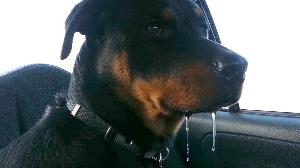 Top 11 Drooling And Slobbering Dogs Rottweiler