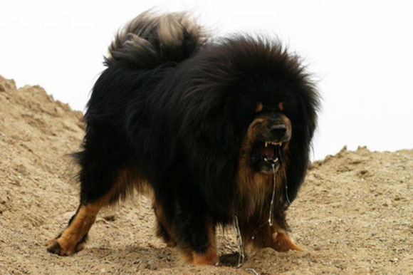 Top 11 Drooling And Slobbering Dogs  Tibetan Mastiff