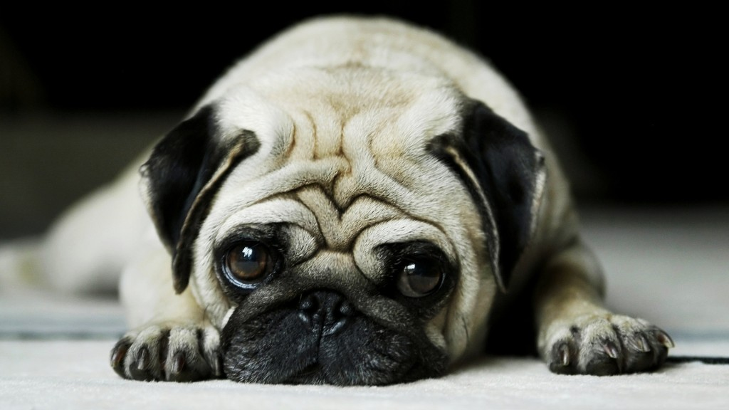 the kindest dog breeds   Pugs