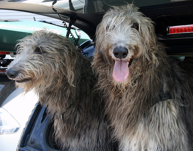 the biggest dogs in the world The Scottish Deerhound