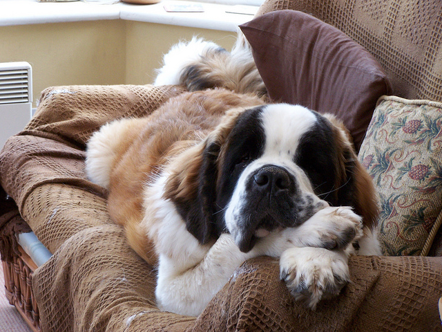 the biggest dogs in the world The St Bernard