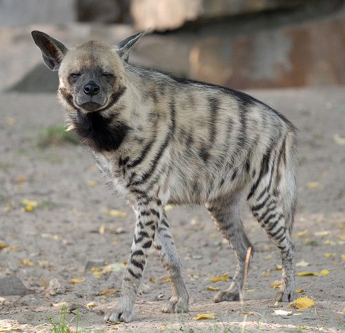 creepy and weird animals. Striped Hyena