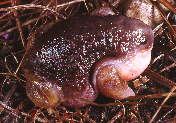 creepy and weird animals. Turtle Frog