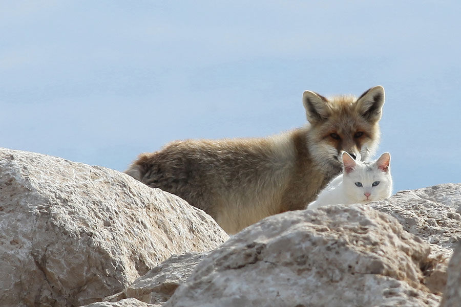 Cat and fox, they make the cutest couple ever!