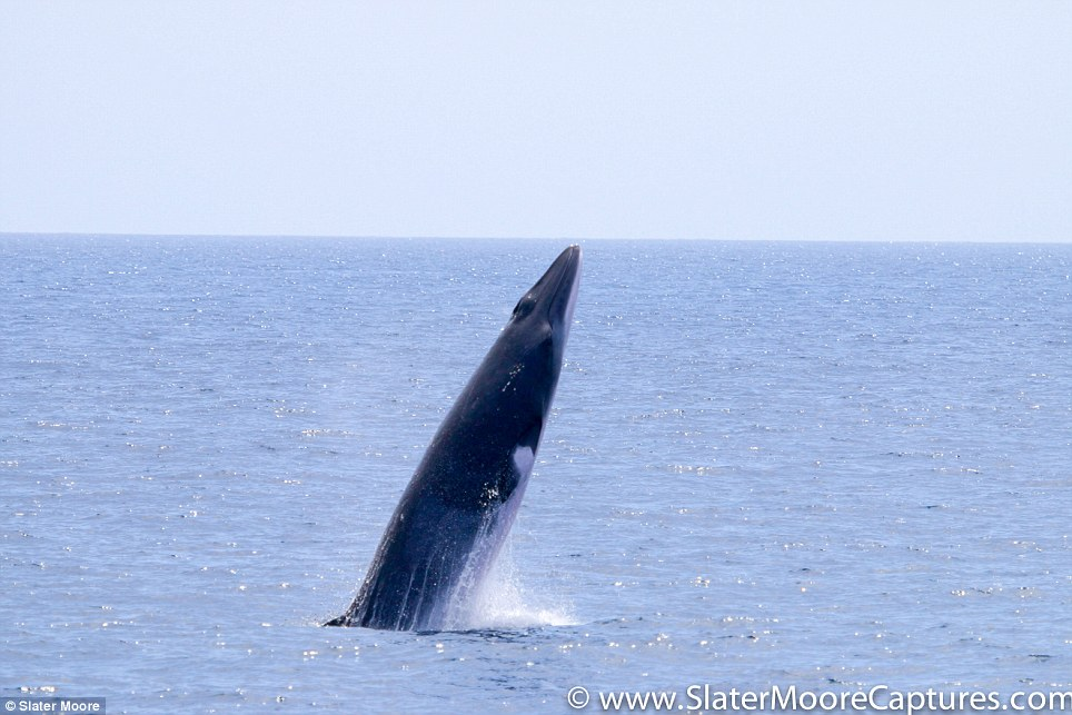 Photographs of a minke whale leaps out of the water and opens its mouth