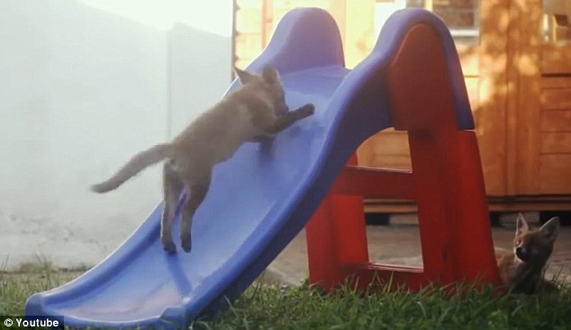 2 adorable  little wild foxes sneaked into a garden in London to play on a children's slide