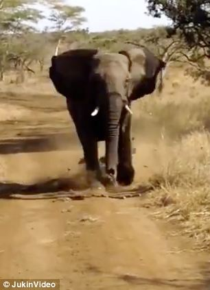 an angry elephant charges at carload of tourists on safari at the Zulu Nyala Game Lodge in South Africa