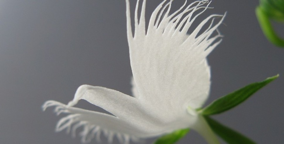 Native to China, Japan, Korea and Russia the White Egret Orchid looks almost like a paper eagle in flight.