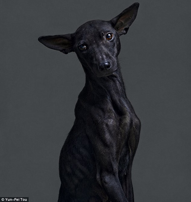 Piercing: Photograph Yun-Fei Tou used portrait techniques to emphasize the facial expressions of the doomed animals. This dog was killed 43 minutes after this picture was taken