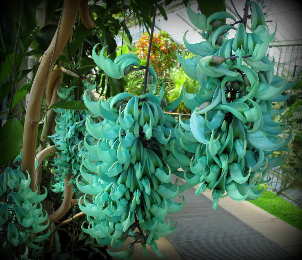 The magnificent Jade Vine looks almost like a colorful bunch of bananas. These fleshy pods are native only to the Philippines.