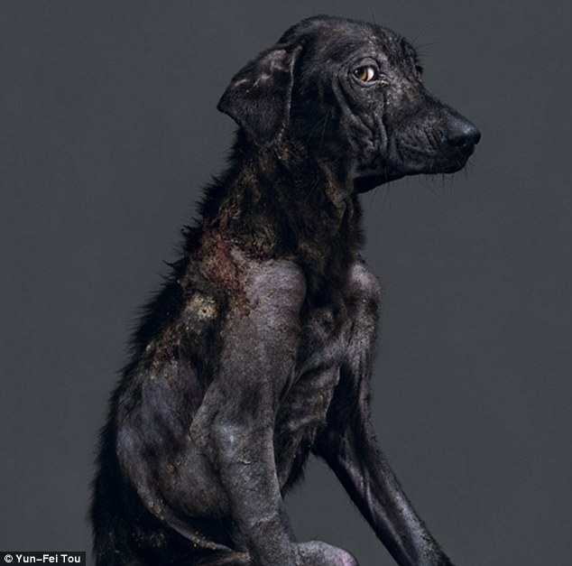 Soulful: This dog, emaciated and with patchy fur, gives the camera a sideways glance an hour and a quarter before its death