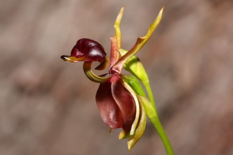 The flying duck orchid is a flower that, well, looks like a flying duck.