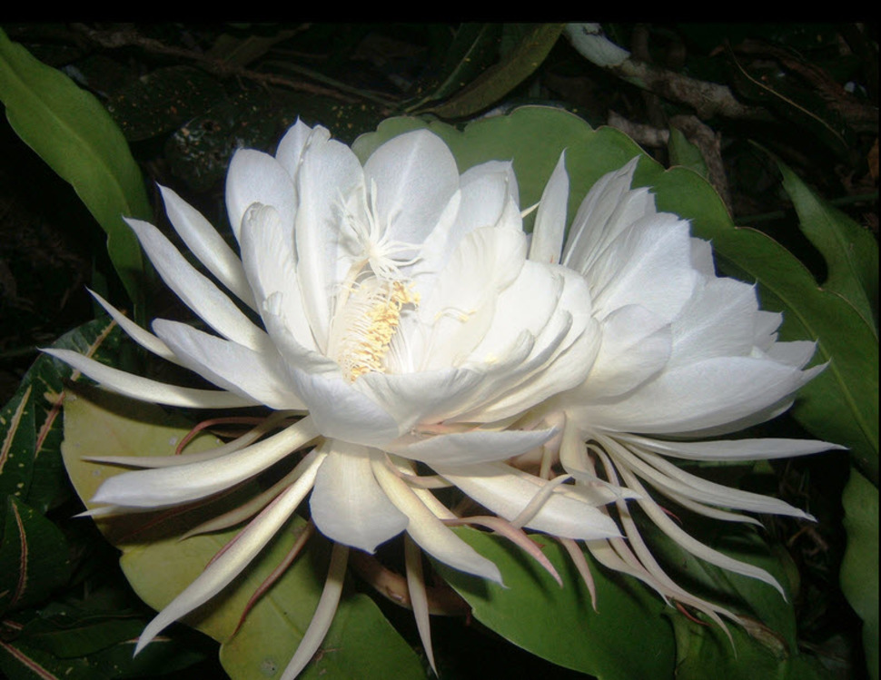 Kadupul flowers are a type of cactus native to Central and South America. They flower rarely and when they do, only at night, wilting away at dawn. The flower is so delicate that the feather-like leaves can't be picked without damaging the plant.