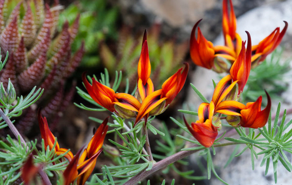 Parrot's beak grows bold claw-like flowers in fiery shades of orange, red and yellow.