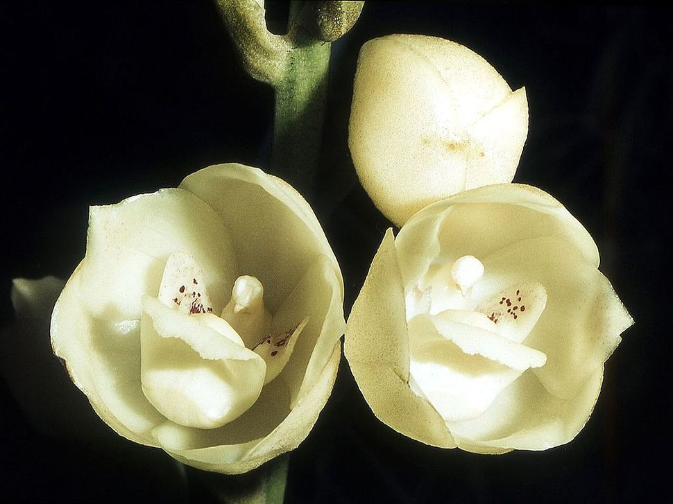 Tucked away in these beautiful Holy Ghost Orchids are small dove-like flowers.