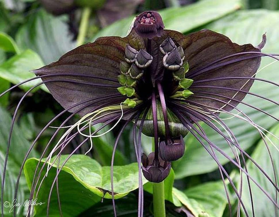 The unusual flowers of the Tacca chantrieri look almost like a black bat.