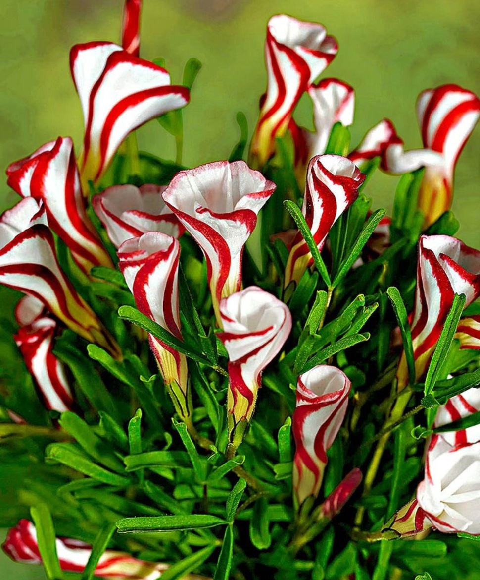 When in full bloom, Candy Cane Sorrel looks exactly like the sweet treat.