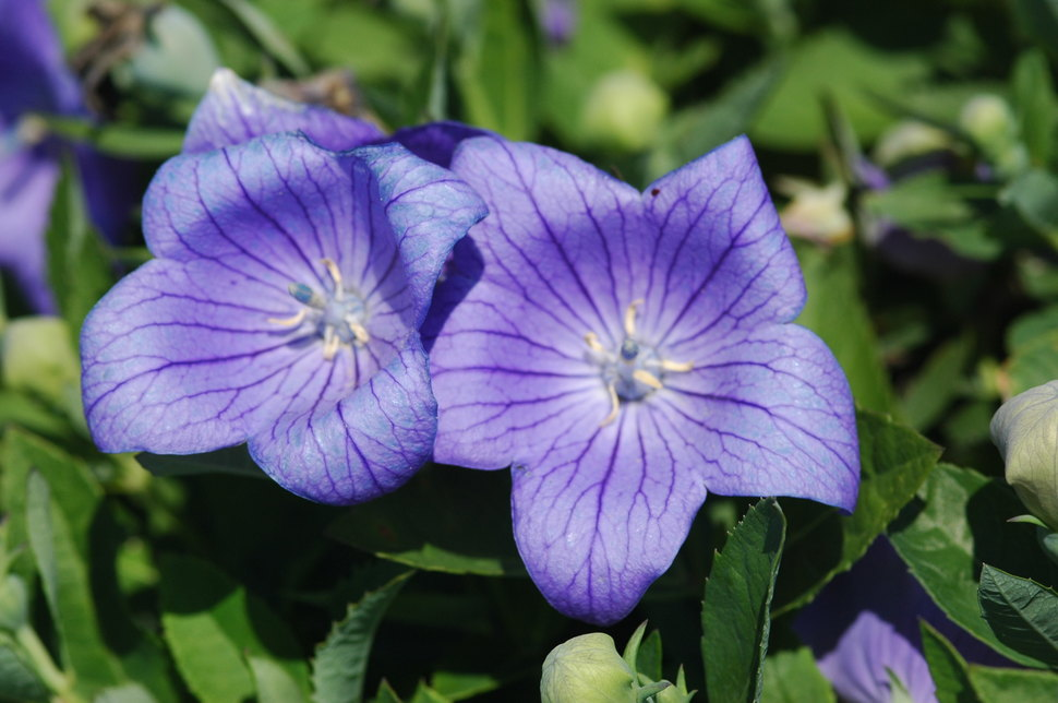 True to the name, the buds of the Balloon flower pop open as they flower, transforming into magnificent plants.