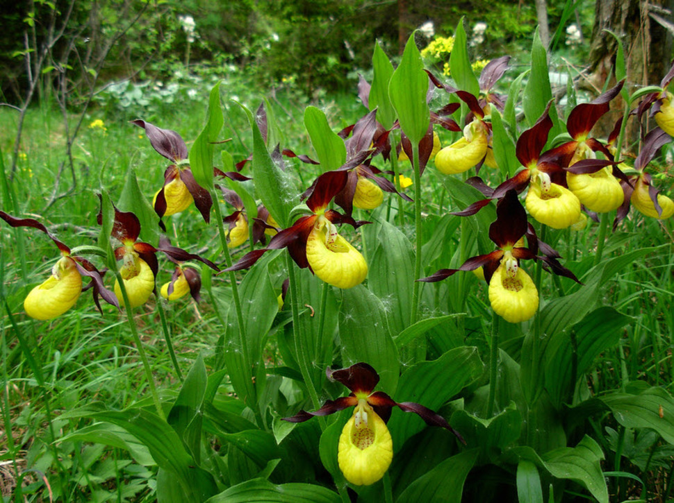 Yellow and Purple Lady Slippers look as though you could slide your foot right in and wear them as shoes.